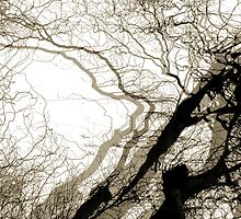 Corkscrew Willow by jenny meehan