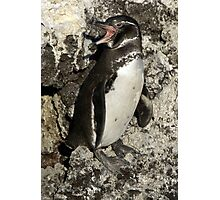 Awesome Galapagos Penguin Photographic Print