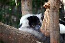 Black And White Ruffed Lemur by barnsis