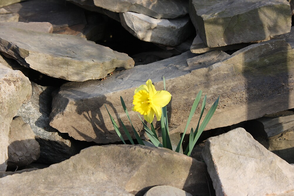 Daffodil on the Rocks by Devon Stewart