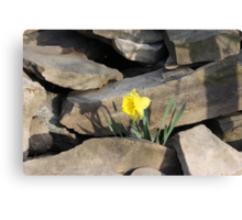 Daffodil on the Rocks Canvas Print