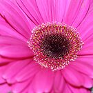 Gerbera macro by Daniel Rayfield