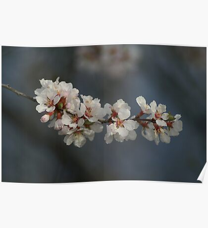 Soft Apple Blossoms Poster