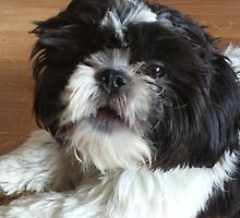 Shih tzu puppy by loubylou2209