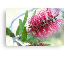 Bottle brush delight Canvas Print