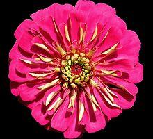 'Hot Pink Zinnea' by Scott Bricker