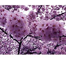 Japanese Cherry Blossoms Photographic Print