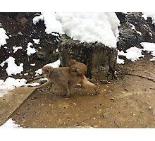 Japanese Snow Monkeys Photographic Print