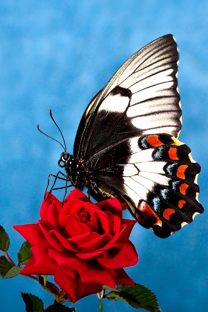 Butterfly Rose by Ken Boxsell