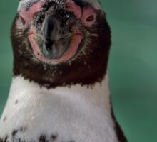 Humboldt Penguin portrait Sticker