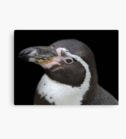 Humbolt Penguin Portrait (Cotswold) Canvas Print