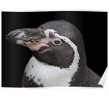 Humbolt Penguin Portrait (Cotswold) Poster