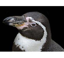 Humbolt Penguin Portrait (Cotswold) Photographic Print