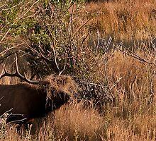 Hair Club For Elk by Jay Ryser