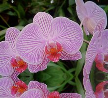 Pink striped Orchid flooded by hilarydougill