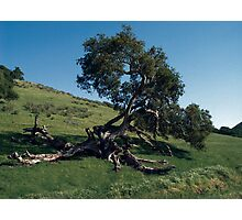 The Struggle to Live: An Oak's Tale Photographic Print