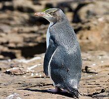 Yellow-eyed Penguin #2, Curio Bay, New Zealand by christopher hodgson