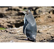Yellow-eyed Penguin #2, Curio Bay, New Zealand Photographic Print