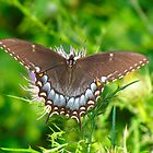 Spicebush Swallowtail by Ginny York