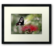 Dinnertime - swallowtail butterfly Framed Print