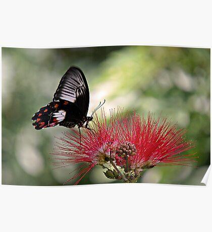 Dinnertime - swallowtail butterfly Poster