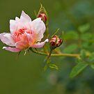 Sister Rose by Joel Hall