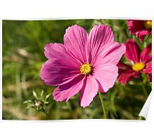 Delicate pink Cosmea Poster
