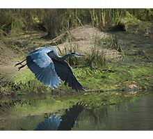 Great Blue Heron In The Salt Marsh Photographic Print