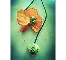 Poppy Perfecion Photographic Print