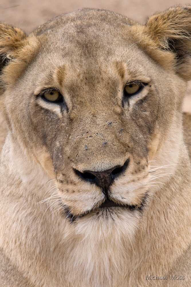 Lioness by Michael  Moss