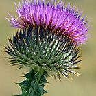 Purple Thistle by Irene Walters