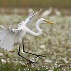 Egrets by Keith McGuinness