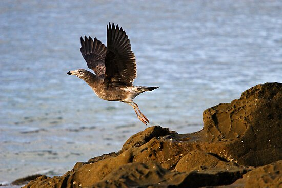 Pacific Gull at Lorne by Darren Stones