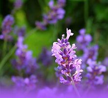 Lavender  by AtelierZiehr