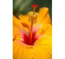 Hibiscus sunshine Photographic Print