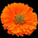 orange flower by Maureen Clark