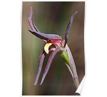 Brown Beaks - Lyperanthus suaveolens Poster