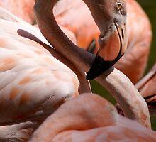 San Diego Flamingo by Kirstyshots