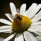 Bee on white flower by Kirstyshots