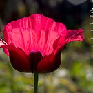 Sunlight poppy by Sandra O'Connor