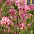 Cottage garden - pink aquilegia by Sandra O'Connor