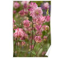 Cottage garden - pink aquilegia Poster