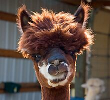 Alpaca by JimJohnson