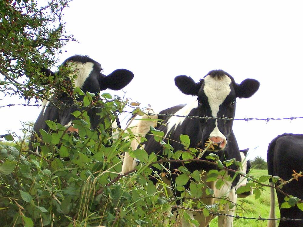 peeping cows by KatharineH