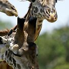 Giraffes by Yves Roumazeilles
