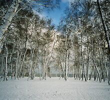 """  Snow Blasted Birch  ""  by fortner"