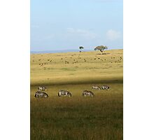 Zebras on the savanah Photographic Print