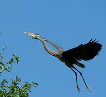 Blue Heron Flying    by swaby