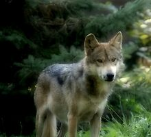 Mexican Gray Wolf by Sandy Keeton