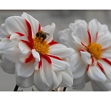 Hungry Bumble Photographic Print